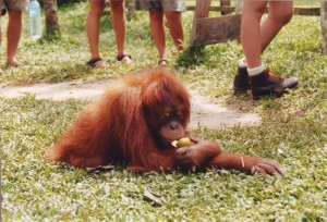 Sumatran Orangutan Rescued