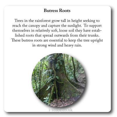butress roots