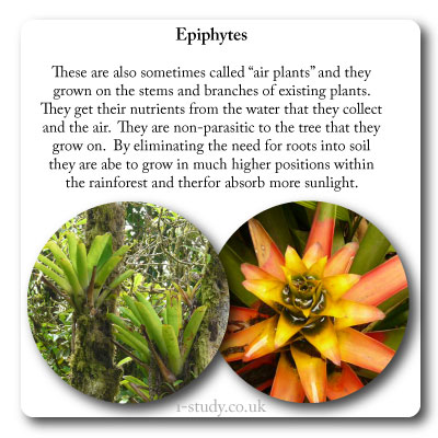 rainforest epiphytyes and bromeliads