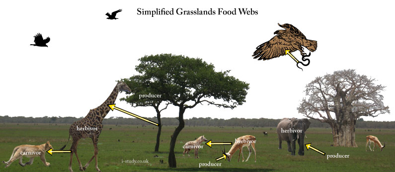 savanna foodchain
